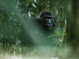 Gorilla Sitting Alone in Thick Foliage Photographic Print by Michael Nichols