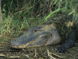American Alligator on Floridas Gulf Coast Photographic Print by Klaus Nigge