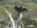 Turkey Vulture Sunning its Wings Photographic Print