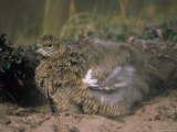 Willow Ptarmigan in its Summer Plumage Takes a Sand Bath to Rid Itself of Parasites Photographic Print by Paul Nicklen