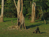 Gorilla Walking Past a Gnarled Tree Photographic Print by Michael Nichols