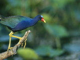 Purple Gallinule Perches on a Tree Branch Photographic Print by Klaus Nigge