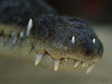 Close View of the Snout of a Morelets Crocodile Photographic Print by Stephen Alvarez