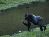 Western Lowland Gorilla Eats Vegetation Plucked from a Stream Photographic Print by Michael Nichols
