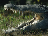 The Open Mouth of an American Crocodile Photographic Print by Klaus Nigge