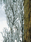 Snow-Coated Tree Branches near a Tree Trunk Photographic Print by Kate Thompson
