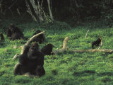 Small Group of Gorillas Feeding in a Bai Photographic Print by Michael Nichols
