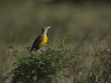 Eastern Meadowlark Perches on a Bush Photographic Print by Klaus Nigge