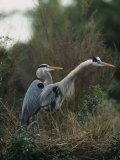 Pair of Great Blue Herons Stand Beside Their Nest Photographic Print by Klaus Nigge
