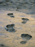 Human Footprints in Mud in the Grand Canyon Photographic Print by Kate Thompson
