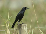 Boat-Tailed Grackle Perches on a Fence Post in Central Florida Photographie par Klaus Nigge