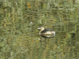 Pied Billed Grebe Swimming on the Surface of Calm Water Photographic Print by Marc Moritsch