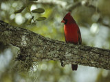 Male Cardinal Perches on a Tree Branch Photographie par Klaus Nigge