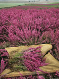 Flowering Field of Heather Is Harvested Photographic Print by Phil Schermeister