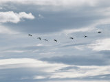 Flock of Sandhill Cranes in Flight Photographic Print by Marc Moritsch