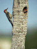 Pair of Red-Bellied Woodpeckers Photographic Print by Klaus Nigge