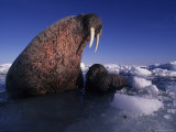 Walrus Pup Takes a Short Plunge into Foxe Basin Photographic Print