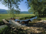 Wild Horses Cross a Stream near Montenero Val Cocchiara Photographic Print by O. Louis Mazzatenta