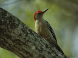 Red-Bellied Woodpecker Perches on a Tree Photographic Print by Klaus Nigge