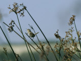 Marsh Wren Perched on a Tall Grass Photographie par Marc Moritsch