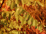 Dew Dappled Leaves Among Fall Foliage Photographic Print by Charles Kogod