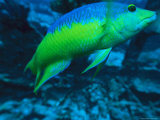 A Brightly Colored Wrasse Swims to Meet the Camera Photographic Print by Heather Perry