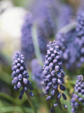 A Close View of Grape Hyacinth Flower Spikes Photographic Print by Darlyne A. Murawski