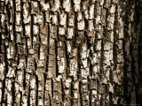 Close View of Tree Bark Photographic Print by Charles Kogod