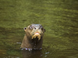 Giant River Otter Swims in Lake Balbina Photographic Print by Nicole Duplaix