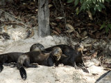 Giant River Otters Rest on the Shoreline of Lake Balbina Photographic Print by Nicole Duplaix