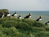A Group of Atlantic Puffins Perch on a Grass-Covered Cliff Photographie par Sisse Brimberg