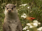 Adult, Male European Otter Stands Upright Photographic Print by Nicole Duplaix