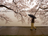Walker Strolling Past Blooming Cherry Trees at the Tidal Basin Photographic Print by Charles Kogod