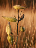 Evening Sunlight on Milkweed Seed Pods and Grasses Photographic Print by Charles Kogod