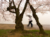 Walkers Strolling Past Blooming Cherry Trees at the Tidal Basin Photographic Print by Charles Kogod