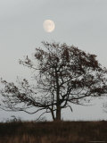 Nearly Full Moon Rising over a Silhouetted Tree Photographic Print by Charles Kogod