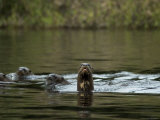 Giant River Otters Swim in Lake Balbina Photographic Print by Nicole Duplaix