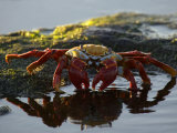 A Sally Lightfoot Crab Dabbling in a Tidal Pool Photographic Print by Ralph Lee Hopkins