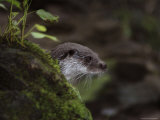 Adult, Male European Otter Peers from its Den Photographic Print by Nicole Duplaix