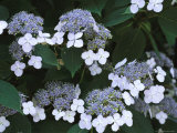 Lace Cap Hydrangea Flowers in Bloom Photographic Print by Darlyne A. Murawski