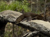 Giant River Otter Rests on a Log at Lake Balbina Photographic Print by Nicole Duplaix