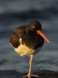 An Oystercatcher Standing on One Leg Near the Shore Photographie par Ralph Lee Hopkins