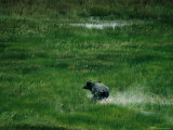 A Water Buffalo Running Through a Swampy Grassland Photographic Print by Randy Olson