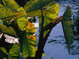 Sunlight Filters Through the Broad Leaves of Aquatic Plants Photographic Print