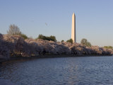 Cherry Trees in Bloom Around the Tidal Basin and Washington Monument Photographic Print by Charles Kogod
