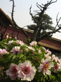 Peonies in Full Bloom in the Garden of the Forbidden City in Spring Photographic Print by Richard Nowitz