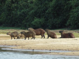 Capybaras Walk on the Shoreline of the Rio Negro Fotoprint van Nicole Duplaix