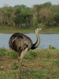 Common Rhea at the Fazenda Barranco Alto Photographic Print by Nicole Duplaix