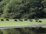 White-Lipped Peccaries on the Shoreline of the Rio Negro Photographic Print by Nicole Duplaix