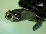 Yellow-Spotted Amazon River Turtle in Balbina Lake Photographic Print by Nicole Duplaix